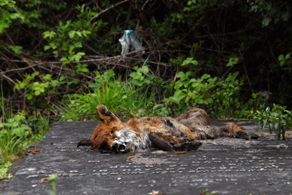 The rather dead fox