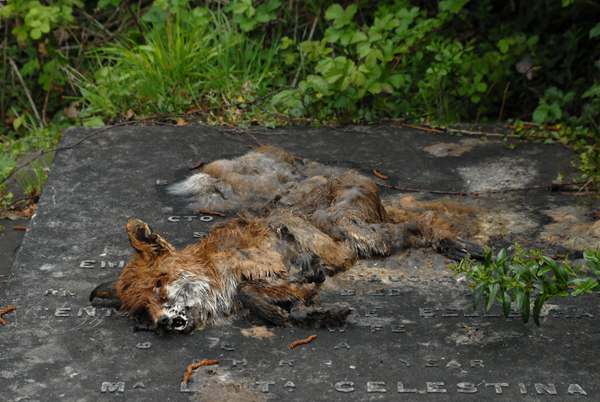 The rather dead fox again