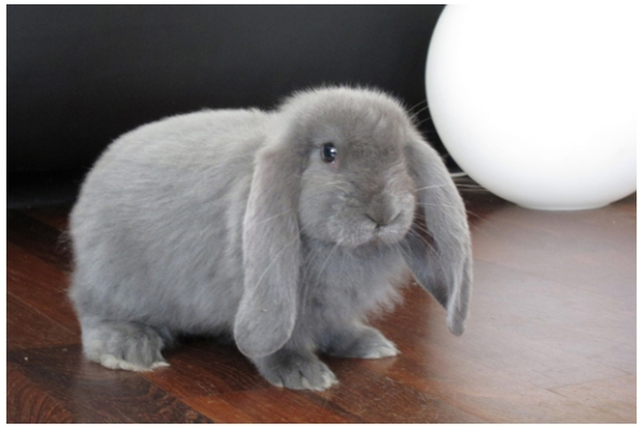 Dino, the French Lop
